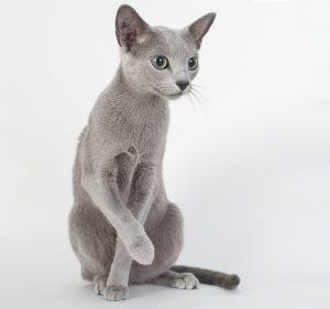 gato azul ruso criadero españa