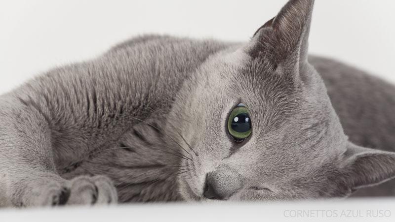 criadero gatos azul ruso españa