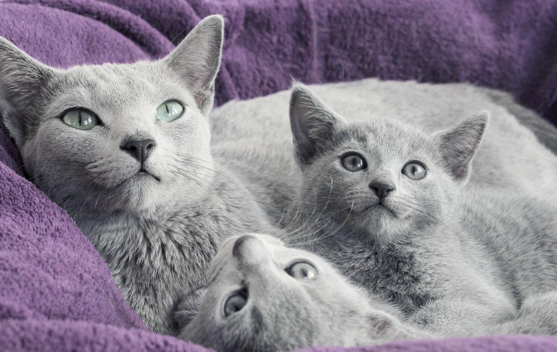 comprar gato azul ruso