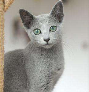 extraordinaria gata azul ruso