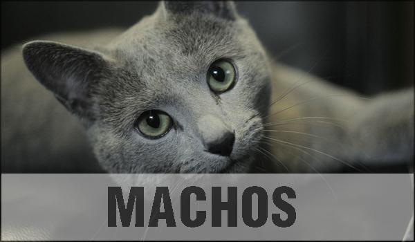 gato azul ruso en adopcion